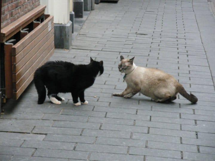 Katzenvergesllschaftung